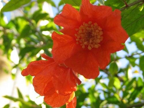 Granatapfel-Blüte