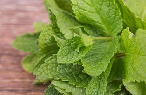 Grüne Minze: ein gesundes, vielseitiges Kraut