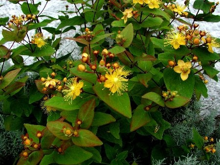 hypericum_androsaemum_orange_flair