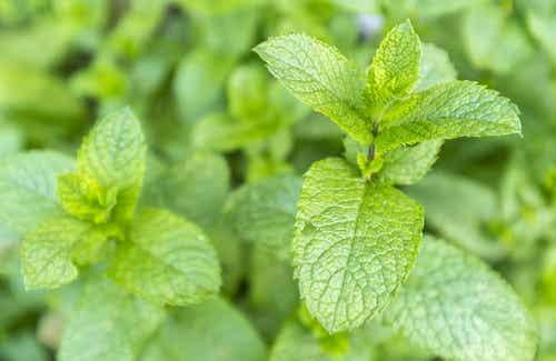 Grüne Minze - gesundheitsfördernde Eigenschaften