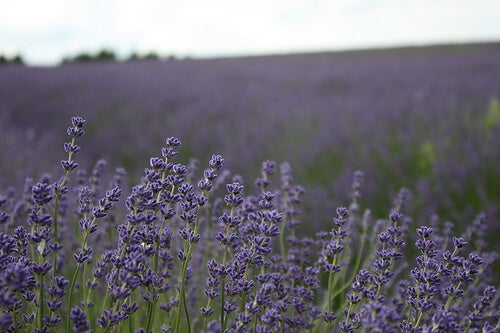 Lavender can be used in soap, aroma therapy, spices etc. Beautiful plant, loved by women