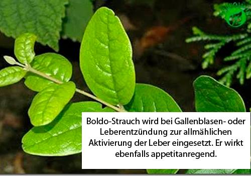 Boldo-Strauch