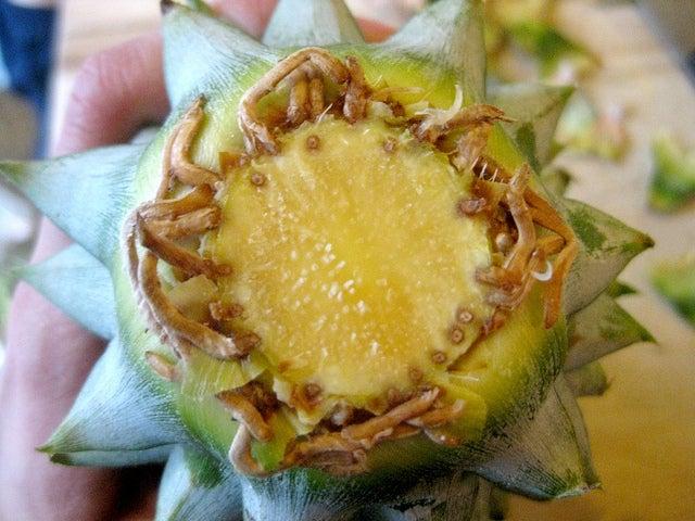 Ananas Wurzeln