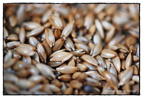 Kanariensaat hilft gegen einen hohen Cholesterinspiegel