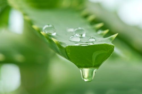Aloe Vera zur Hautpflege
