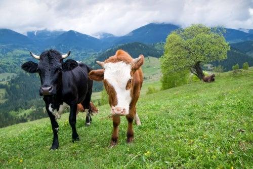 Kühe, beliebtes Nutzvieh auf der Erde