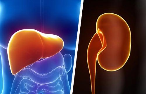 Nieren und Leber natürlich pflegen