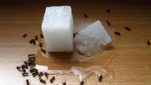 Zucker gegen Ameisen