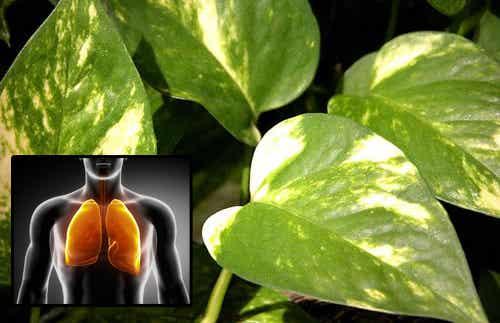 Efeutute für gute Luft und gesunde Augen