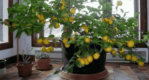 Zitronenbäume selbst ziehen