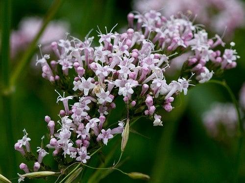 baldrian-eine-pflanze-gegen-schlaflosigkeit