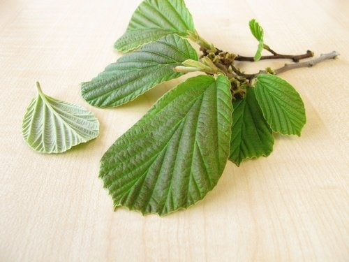 Tees gegen Krampfadern: Hamamelis