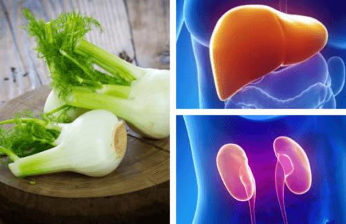 Fenchel kann Leber und Nieren gut tun