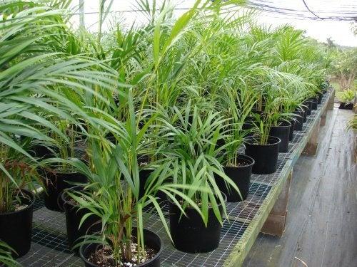 Chrysalidocarpus_lutescens als Zimmerpflanze