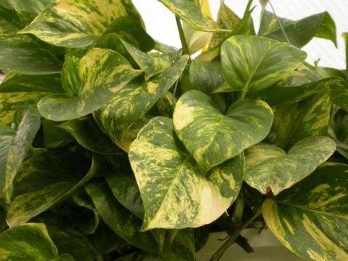 Epipremnum-aureum als Zimmerpflanze