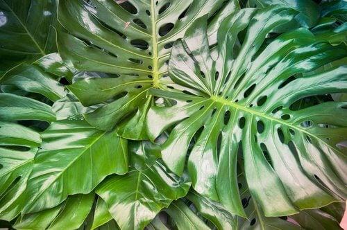 gefährliche Zimmerpflanzen Filodendron
