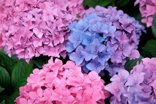 Hortensia als Zimmerpflanze