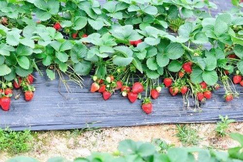Erdbeerblätter in Kräutertees