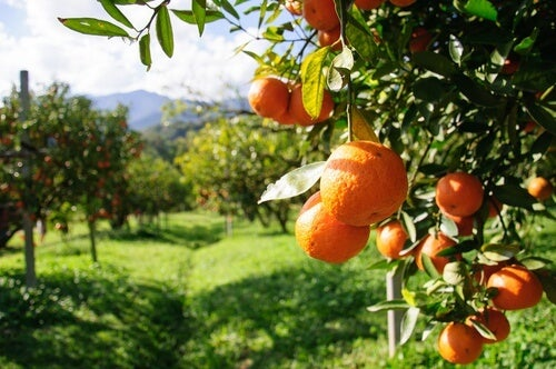 Orangen enthalten viel Wasser