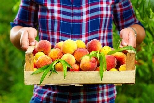 Pfirsich frisch geerntet