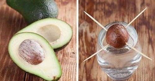 Wie kann ich eine Avocado selber ziehen?