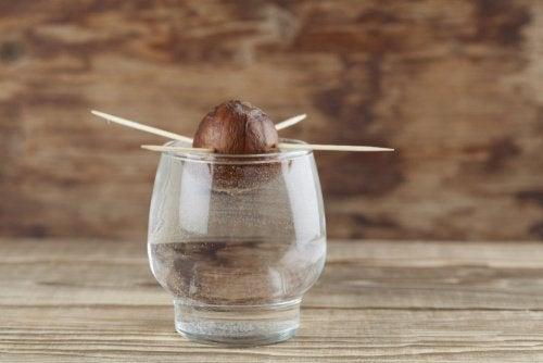 Kern der Avocado im Wasserglas