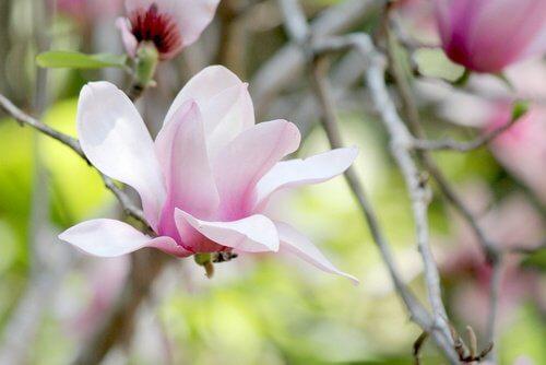 Magnolie als Färbemittel