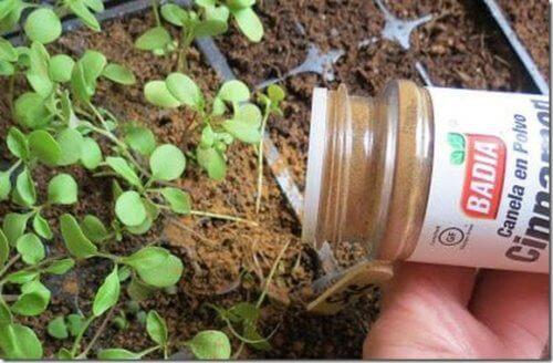 Mit Zimt die Pflanzen pflegen
