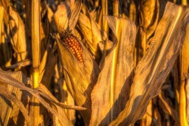 Mais in der Mikrowelle zubereiten