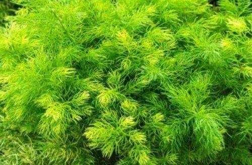 Asparagus zur Stärkung der Libido