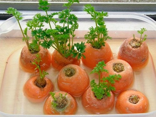 Gemüse nachwachsen lassen - Möhren