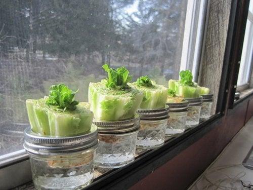 Gemüse nachwachsen lassen - Salatkopf