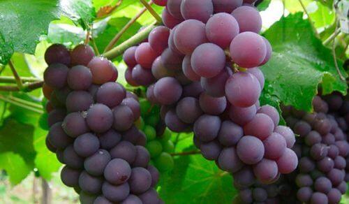 Obstsorten gegen Verstopfung: Trauben