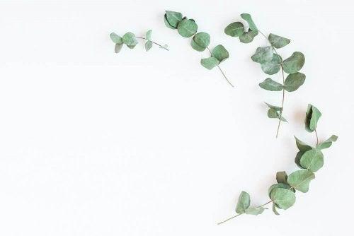 Stärkung der Lunge mit Eukalyptus