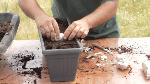 Knoblauch selber pflanzen