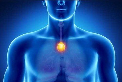 Die Thymusdrüse: Hüterin des Immunsystems