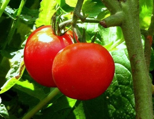 Tomate gegen schwere Verstopfung