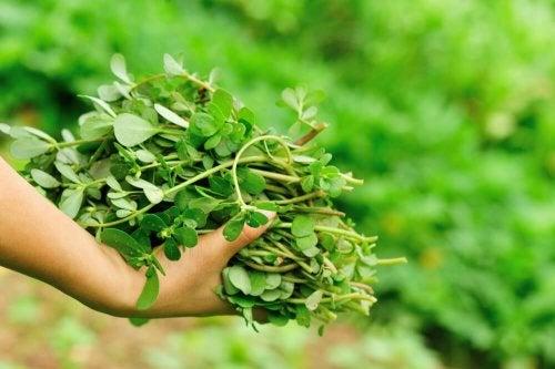Heilpflanze Portulak
