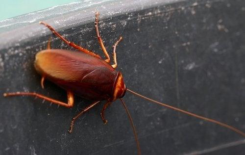 Kakerlaken ohne Insektizide abschrecken und Gefahren von Kakerlaken