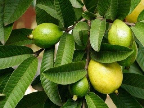 Die Guavenpflanze für geschädigte Haare