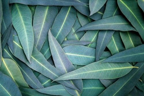Eukalyptus zur Linderung von Atemwegsproblemen