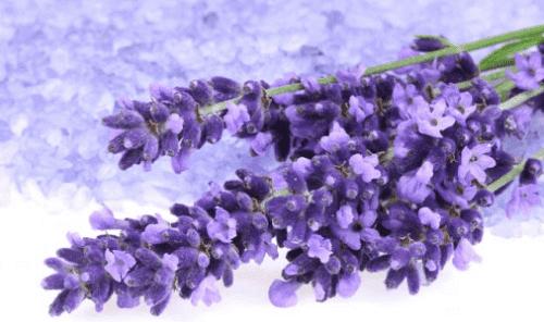 Eine Handvoll Lavendel.