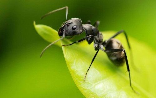 Insektenstiche durch Ameisen hinterlassen nur eine Schwellung
