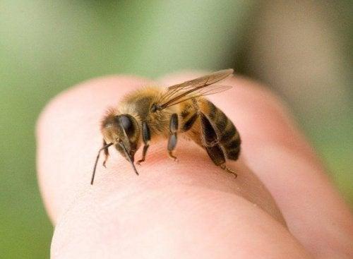 Zu den häufigsten Insektenstichen gehören Bienenstiche