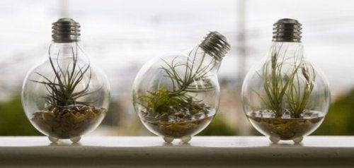 Kleine Pflanzen, die sich in Glühbirnen befinden.