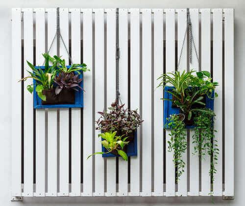 Drei hängende Luftpflanzen.