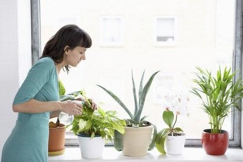 Frau bekämpft Schädlinge an Zimmerpflanzen