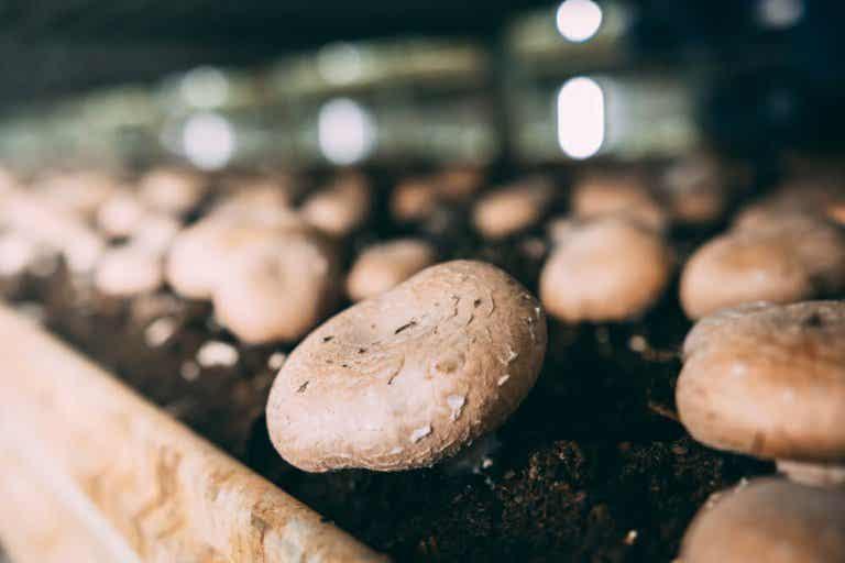 Lerne den Anbau von Champignons zu Hause