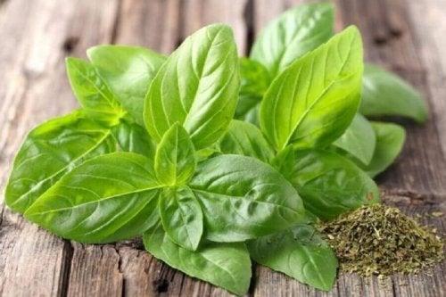 Heilpflanze Basilikum - Blätter