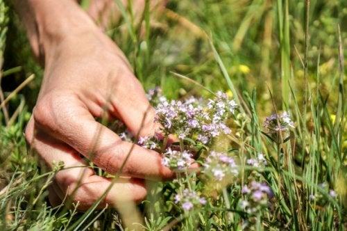 Heilpflanze Thymian als Naturheilmittel